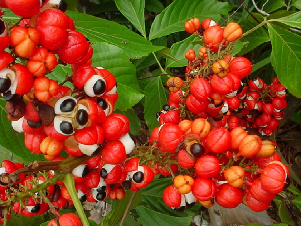 Guarana popularity begins in Brasil